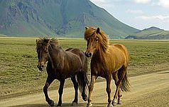The wonderful island of Iceland with its Icelandic horses.