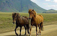 Die wunderbare Insel Island mit ihren Islandpferden.